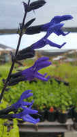 SAGE 'Black and Blue' --Salvia guaranitica--