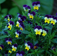 HEARTSEASE 'Violet' --Viola tricolor--