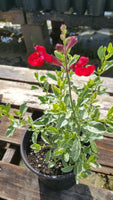 AUTUMN SAGE 'Variegated Red' --Salvia greggii--