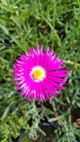 ICE PLANT 'Bright Pink' --Malephora crocea--
