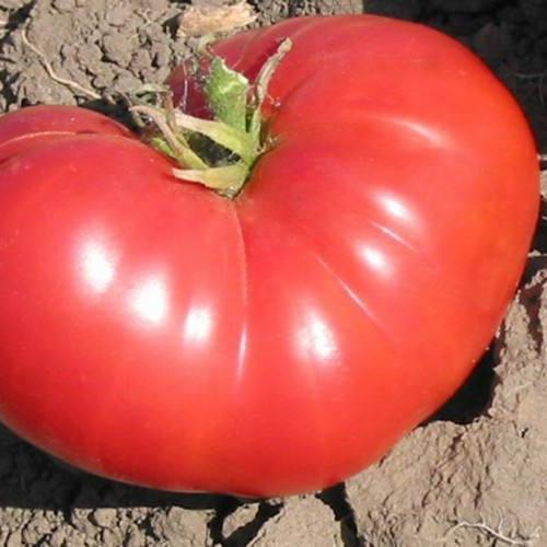 TOMATO 'New Big Dwarf'