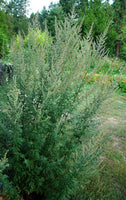 MUGWORT 'Common' --Artemisia vulgaris--
