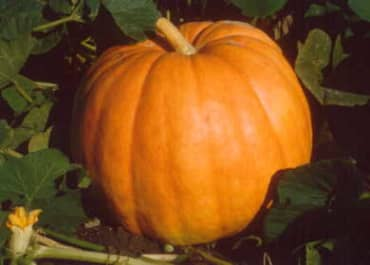 PUMPKIN 'Big Max'