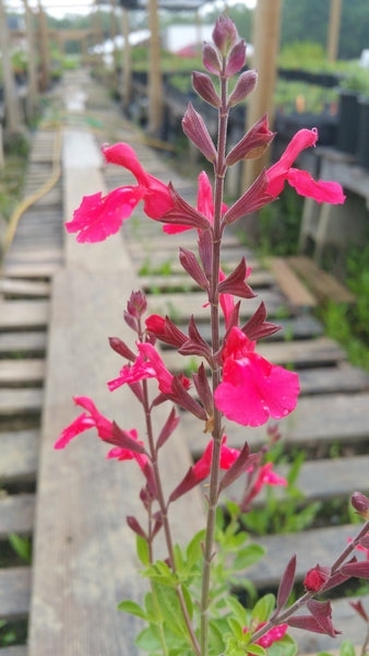 AUTUMN SAGE 'Sunset' --Salvia greggii--