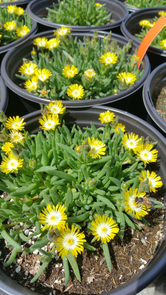 JEWEL OF THE DESERT 'Peridot' --Delosperma cooperi--