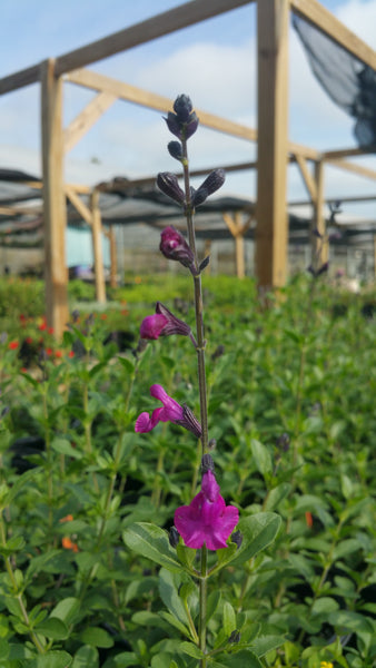 AUTUMN SAGE 'Raspberry Dark' --Salvia greggii--