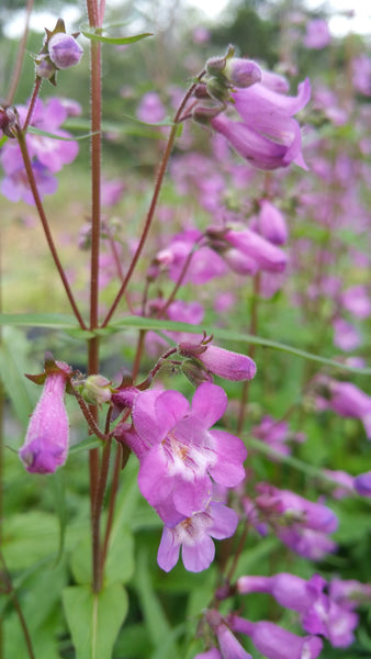PENSTEMON 'Brazos' --Penstemon tenius--