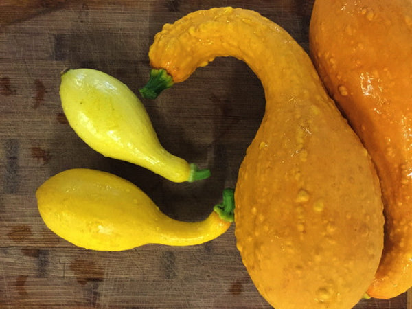 SQUASH 'Early Summer Crookneck'