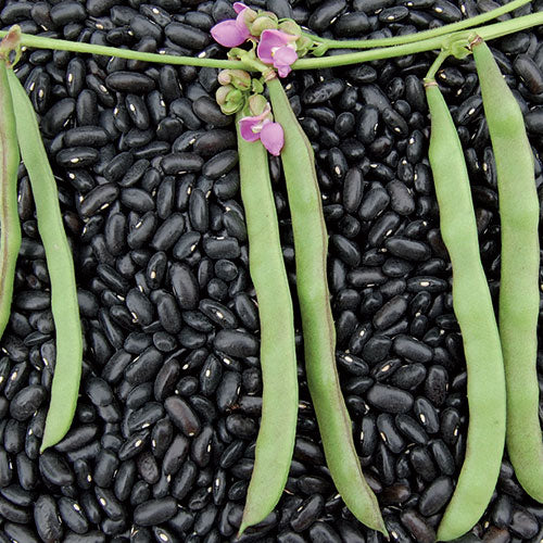 BEAN 'Cherokee Trail of Tears'