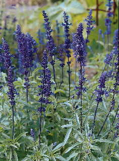 SAGE 'Blue Bedder' --Salvia farinacea--