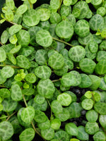 STRING OF TURTLES --Peperomia prostrata--