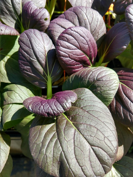 ASIAN GREENS 'Violetta Pac Choi'