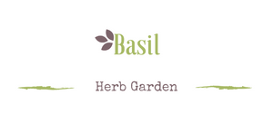 Growing a medicinal garden: Basil