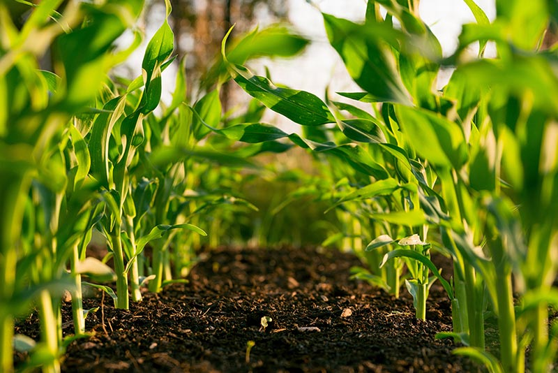 Organic foods beginning to sprout on a family farm with rich soil and bright green plants