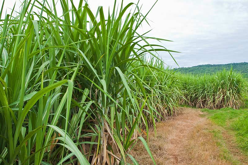Rows of sugarcane plants and a dirt road leading to them
