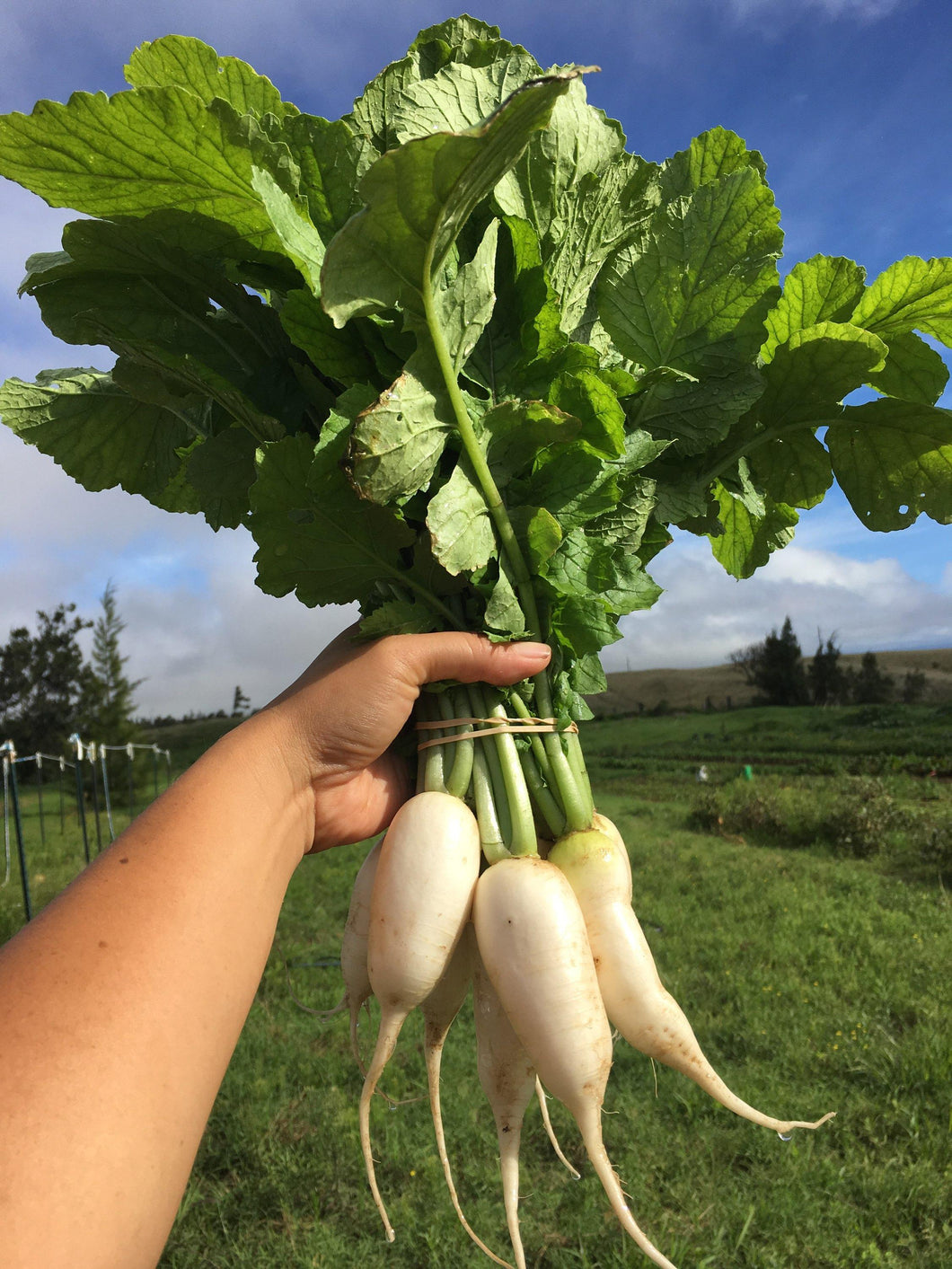 Bunch of Mini Daikon