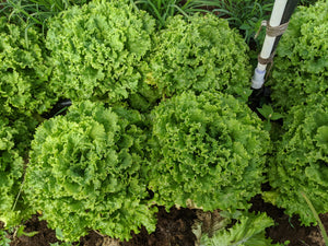 Green Leaf Lettuce Head