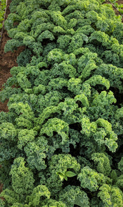 Bunch of Curly Kale