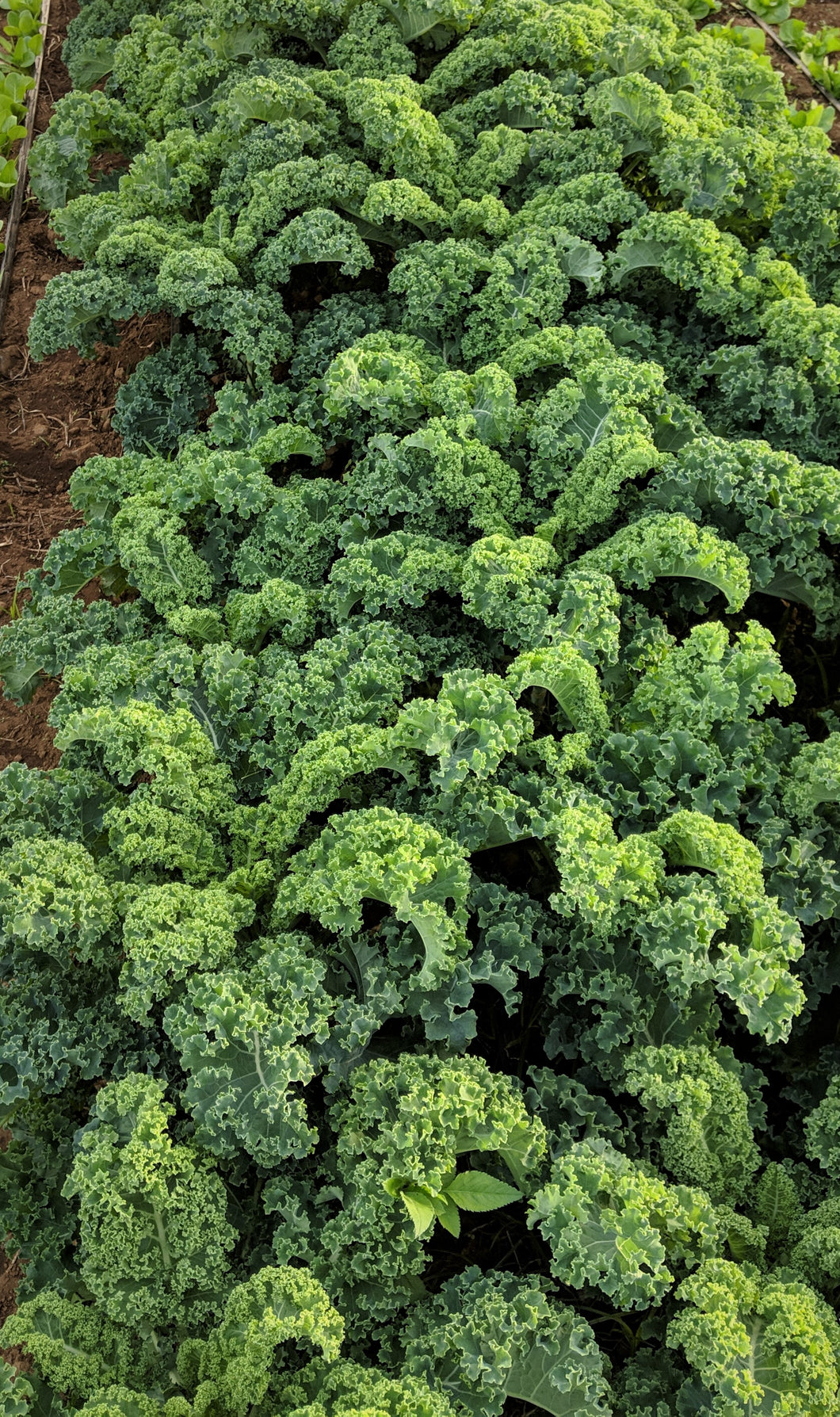 2 Bunches of Curly Kale