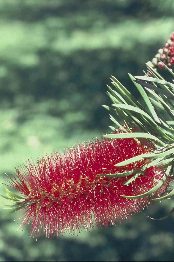 products/Bottlebrush_491d590b-fd42-4e28-9b0b-7247c08a7b67.jpg