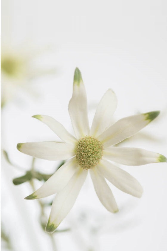 products/Flannel_Flower_defca688-6c23-4895-a9f3-89cecec4f8e8.jpg