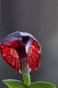 Red Helmet Orchid
