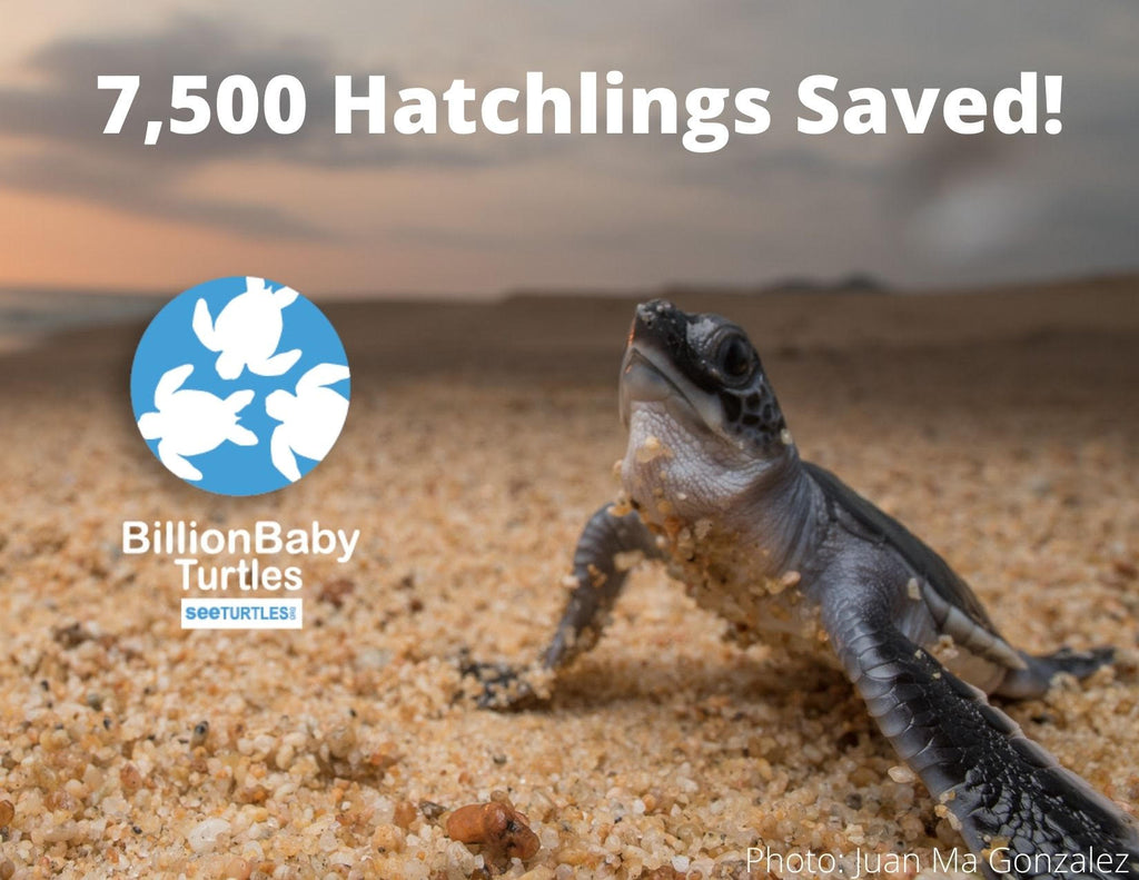 We've Saved 7,500 Turtle Hatchlings!