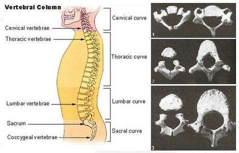 spine vertebrae | rear facing car seats
