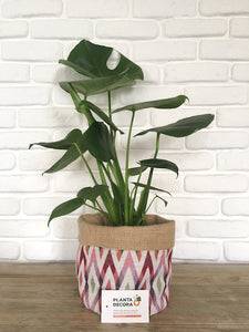 Monstera deliciosa / Costilla de Adán