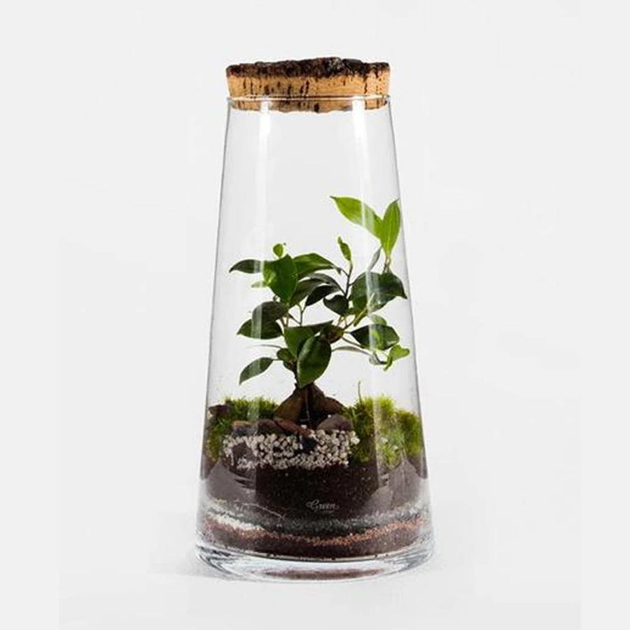 FOREST HIGH FICUS TERRARIUM - COLLECTION ONLY - JAVELIN