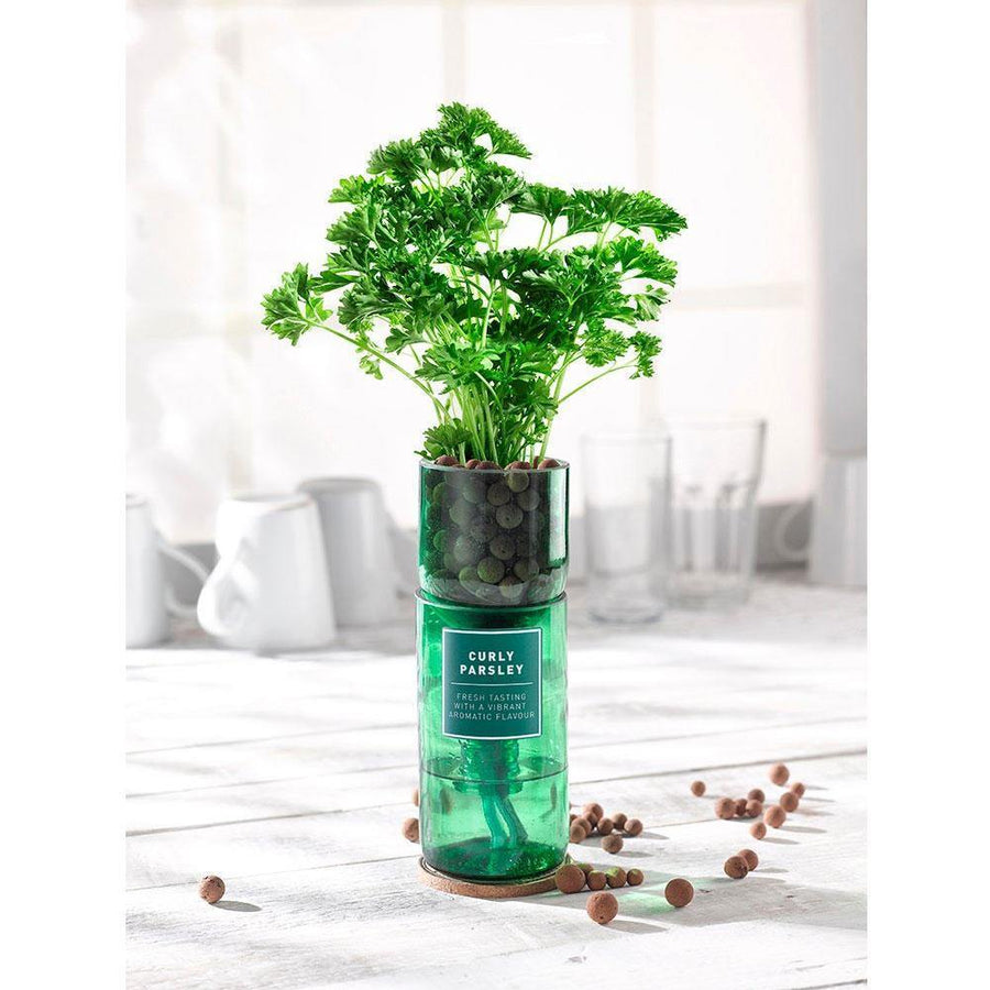 hydro-herb curly parsley