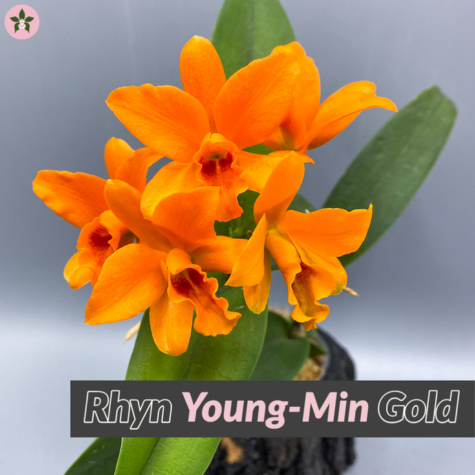 What you need to know about Cattleya Roots before purchasing