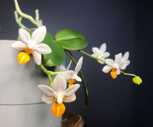Phal. Mini Mark - Roehampton Orchids, rare hard to find unique Orchids, cattleya, phalaenopsis, jewels, terrarium, vivarium plants