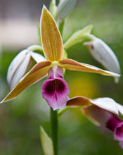 Load image into Gallery viewer, Phaius tankervilleae