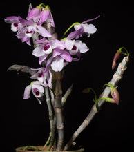Load image into Gallery viewer, Den. parishii - Roehampton Orchids