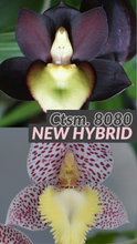 Load image into Gallery viewer, 8080 - Ctsm. Dentigrianum 'SVO Cutie' x Ctsm. tenebrosum 'Ed Wise #2' AM/AOS