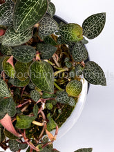 Load image into Gallery viewer, Anoectochilus Jewel orchids Roehampton Canadian Toronto Ontario