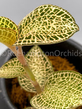 "Load image into Gallery viewer, Anoectochilus roxburghii ""white Gold"""