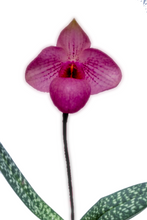 Load image into Gallery viewer, Paph. Fumi's Delight 'Rainbow' x delenatii fma. vini (dunkle)