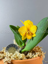 Load image into Gallery viewer, C. Faikon Ball - Roehampton Orchids, rare hard to find unique , cattleya, phalaenopsis, jewels, terrarium, vivarium plants