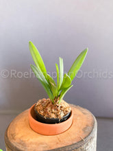 Load image into Gallery viewer, Ceratostylis pleurothallis