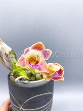 Load image into Gallery viewer, Chysis limminghei - Roehampton Orchids