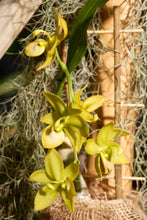 Load image into Gallery viewer, Cycd. Jumbo Puffs - Roehampton Orchids