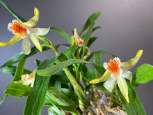 Load image into Gallery viewer, Den. Schrautii - Roehampton Orchids, rare hard to find unique , cattleya, phalaenopsis, jewels, terrarium, vivarium plants