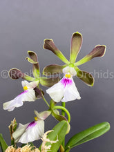 Load image into Gallery viewer, Encyclia cordigera - Roehampton Orchids