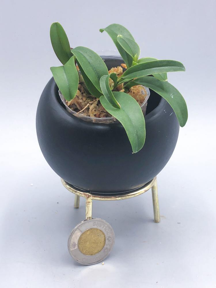 Ett. Hsiang Yu Gold Coast 'Fireworks' - Roehampton Orchids