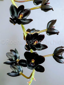 Fredclarkeara After Dark 'SVO Black Pearl' FCC/AOS - Roehampton Orchids