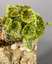 Load image into Gallery viewer, Lepanthes calodictyon var. dark