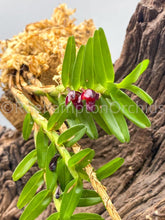 Load image into Gallery viewer, Maxillaria swartziana - Roehampton Orchids