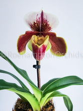 Load image into Gallery viewer, Paph. Yi-Ying Colourful Clouds x Winston Churchill - Roehampton Orchids